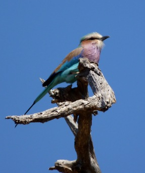 Lilac-breasted-Roller | Städte » Afrika | Walter Grab / Bearbeitung: Joujou / pixelio