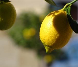 2 Zitronen am Baum | Essen & Trinken » Früchte & Obst | Rainer Sturm / pixelio