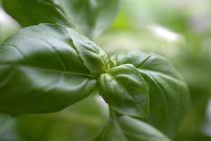 Basilikum, Strauchbasilikum Tulsi, Bio Ocinum tenuiflorum - Frostabhärtung – natürliche Abwehr der Pflanzen