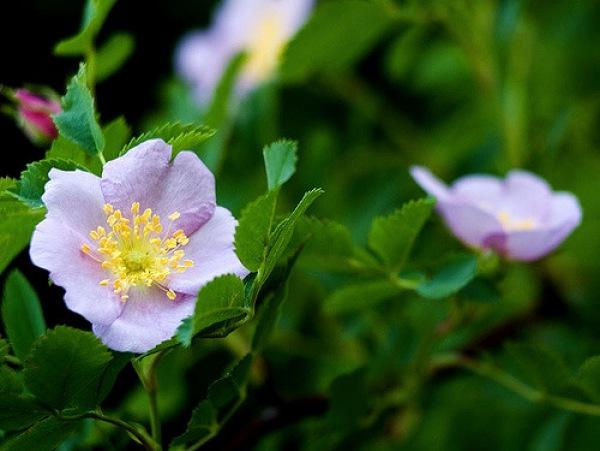 Wild Rose - 5 petal