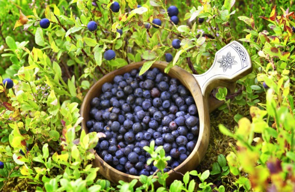 Blueberries Koli National Park Finland