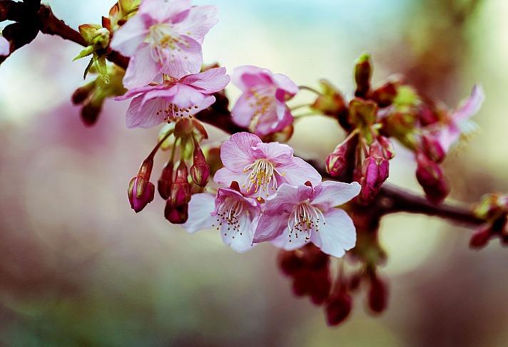 Kirschblüte hideki_sato/pixabay 1