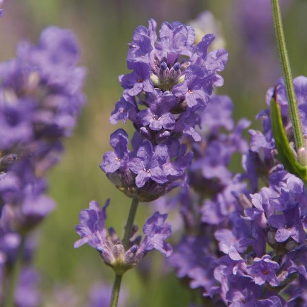 Gärtner Pötschke - Englischer Lavendel Elizabeth