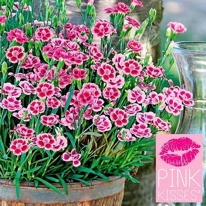 Gärtner Pötschke - Pink Kisses Prinzess-Nelke