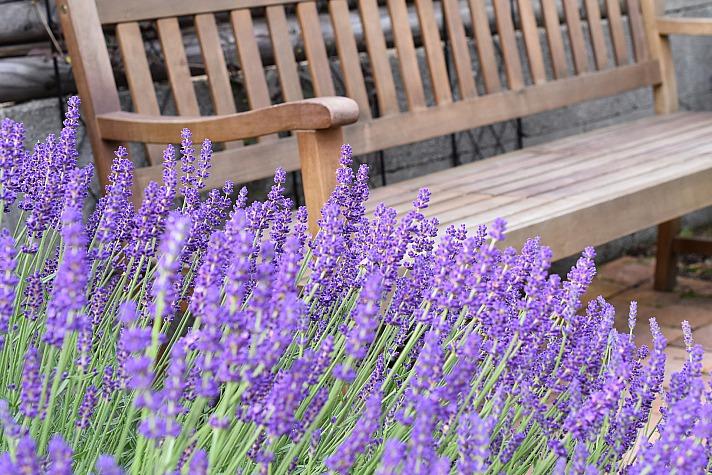 Lavendel Rittergasse/pixabay 141