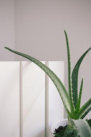 Aloe Vera daheim selbst anbauen