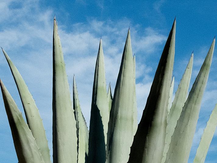 Aloe vera Ein uraltes wirksames Naturheilmittel