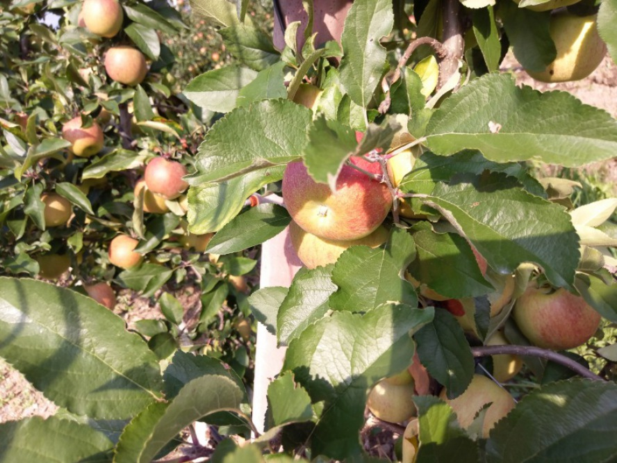 Hotel Hohenwart: Ende September ist Erntezeit der köstlichen Südtiroler Äpfel
