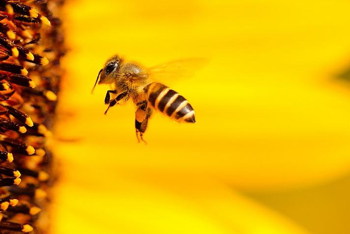 Bienenprojekt will ausschwärmen