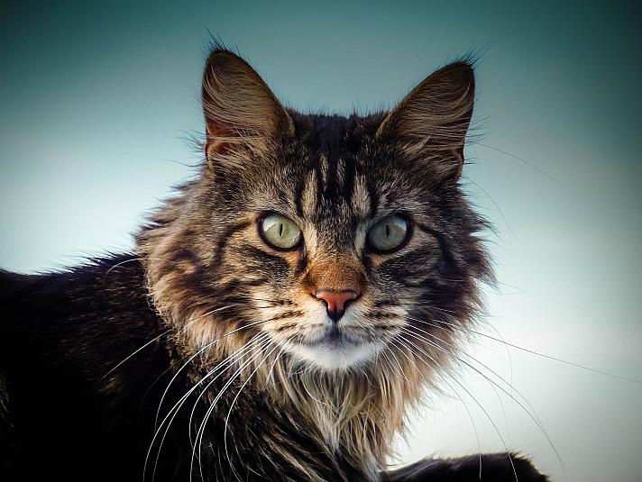 Main-Coon - Diese Katze hilft uns Menschen, gesund zu werden!