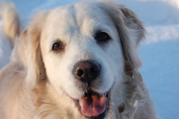 Golden Retriever | Haus- und Nutztiere » Hunde | Manuela Engel / pixelio