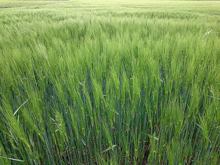 Weizen landwirtschaft bauernhof feld korn landwirt brokerx/pixabay 29