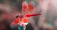 libelle_topseed_pixabay_13