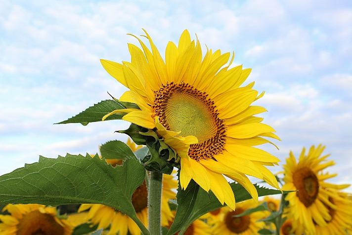 Sonnenblume metadog/pixabay 4