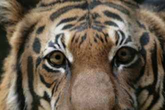 böser Tiger | Wildtiere » Raubtiere | Pusteblume13 / pixelio