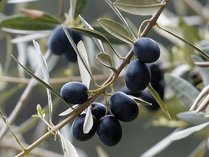 Olivenbaum Hans/pixabay 8