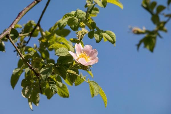 Wildrose Didgeman/pixabay 20