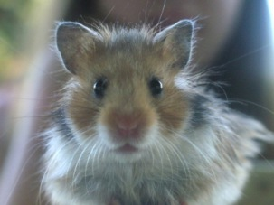 Hamster Max   Wildtiere » Nagetiere   Saphira / pixelio