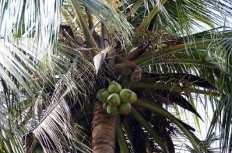 Koh Samui, Kokosnusspflücker | Städte » Asien | Katharina Wieland Müller / pixelio