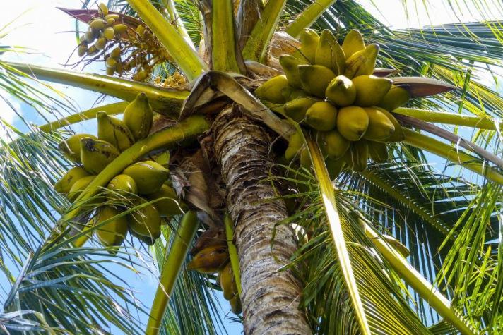 Kokosnuss werner22brigitte/pixabay 73