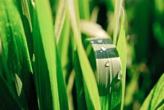 Grünes Weizen | Landschaft & Natur » Felder & Wiesen | Andrej Below / pixelio