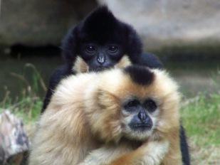 Affenliebe_3- Gibbons im Zoo | Tiere » Säugetiere | Axel Renneke / pixelio